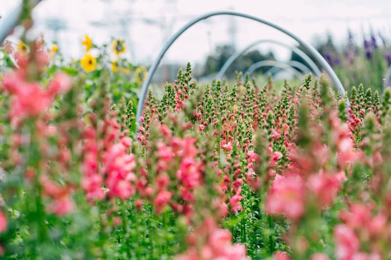 Snapdragons are just one of the various ora grown at the farm.