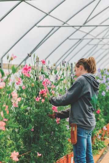 Arnhart checks on sweet peas in the Triple Wren greenhouse.