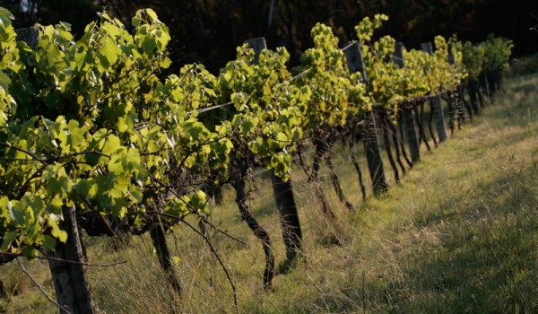 green_vines-600x350