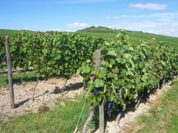 Rheinhessen_vineyards