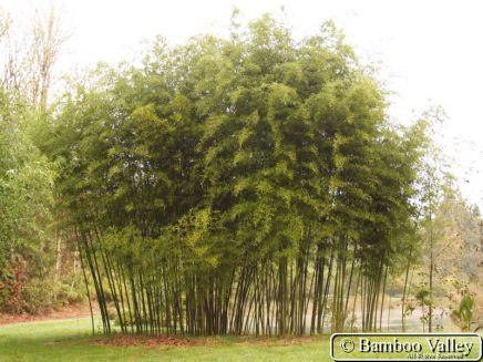 Phyllostachys atrovaginata grove2