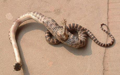 Bichinho fofinho do dia: cobra com garras, encontrada na China. MEDO!