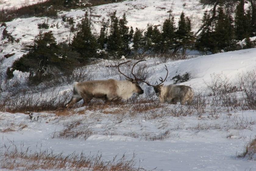 Caribou in Geoerge River Basin