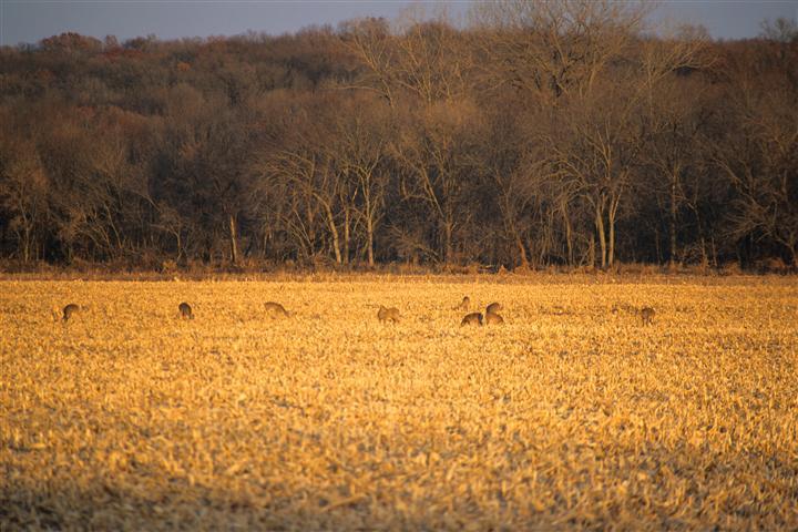 玉米地猎鹿