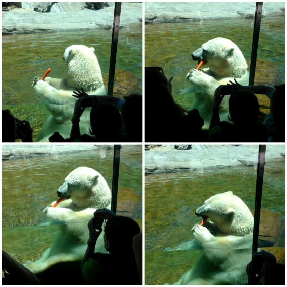 Precious Polar Bear enjoying a carrot for lunch!