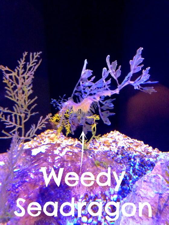 WeedySeadragon