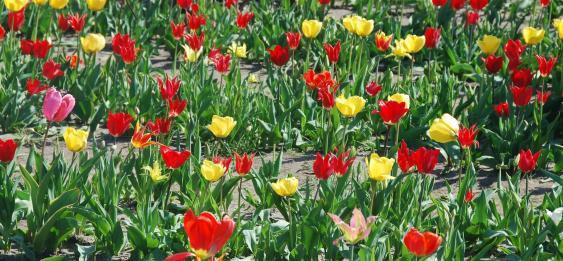 2015.04.19 Tulpen 6