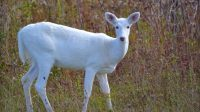 White Deer: Understanding a Common Animal of Uncommon ...