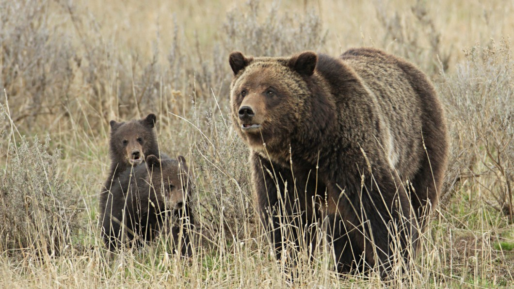 Grizzly sow and cubs near Fishing Bridge in Yellowstone. Photo by Jim Peaco / NPS in the Public Domain