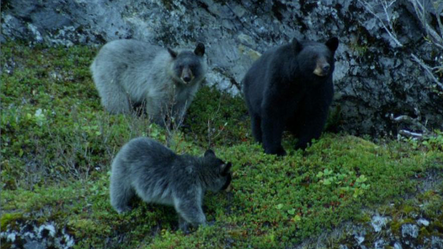 Black bear with Glacier bear cubs. Photo by the National Park Service in the Public Domain