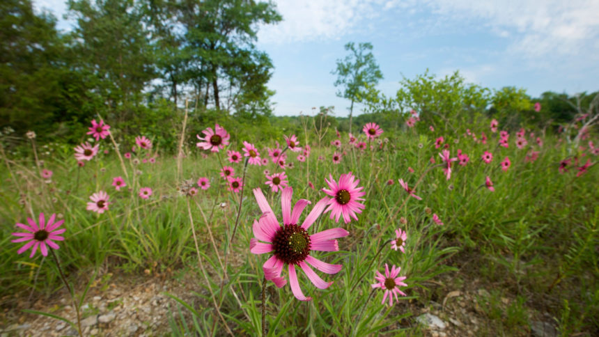 Tennessee coneflowers at Couchville Cedar Glade State Natural Area. Photo © Byron Jorjorian, used with permission