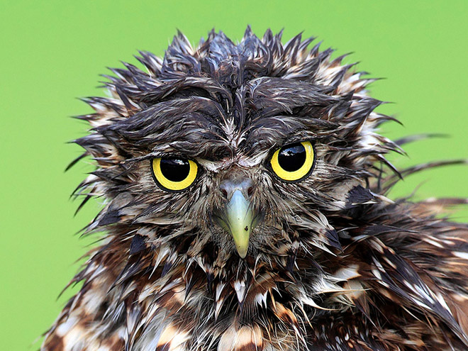 Wet owl looking at you.