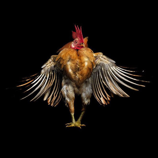 Beautiful rooster.