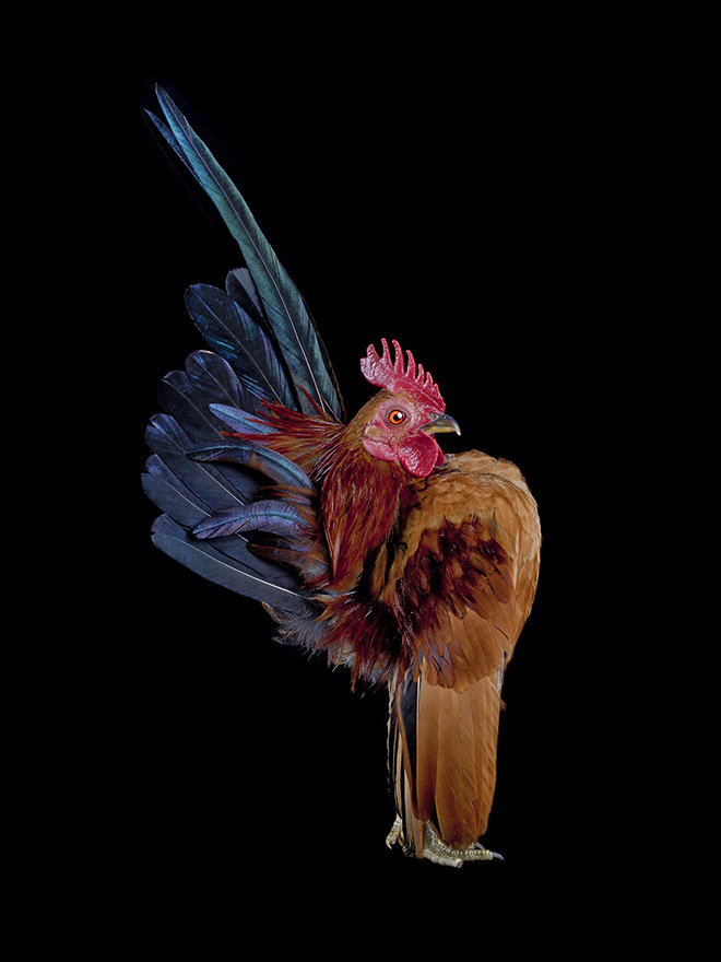 Weird rooster.