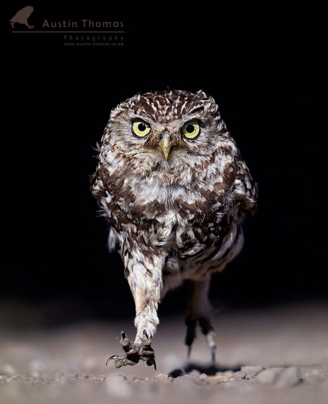 This owl is definitely angry at something.