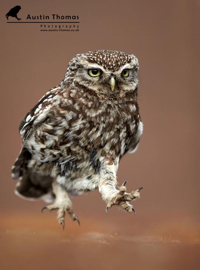 Funny walking owl.