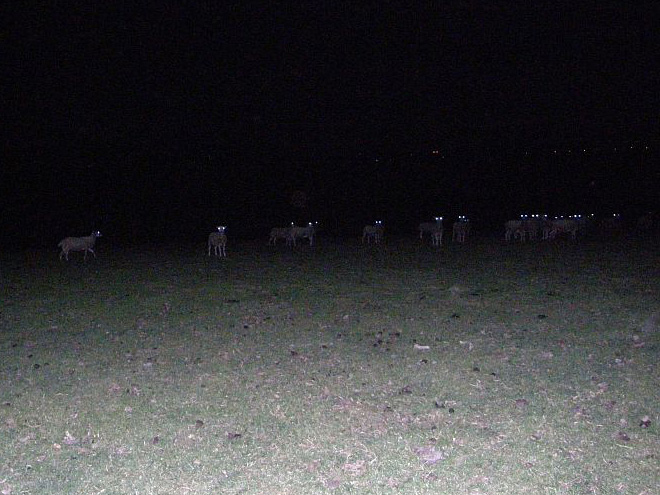 Sheep in the night.