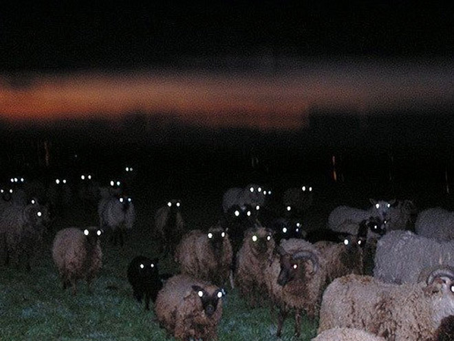 Creepy sheep looking at you in the dark.