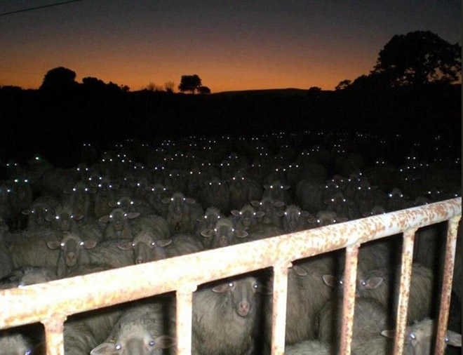 Evil creepy sheep at night.