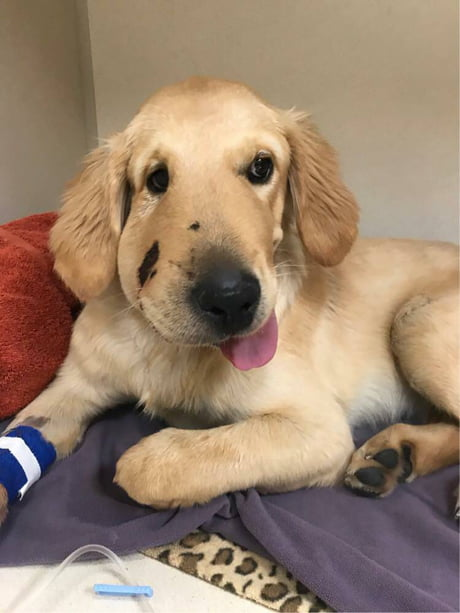 This is Todd, Todd is the best pupper. Todd saw his owner almost get bitten by a snake and intervened. 27/10 would give all the pets. Todd is making a speedy recover, well wishes for Todd.