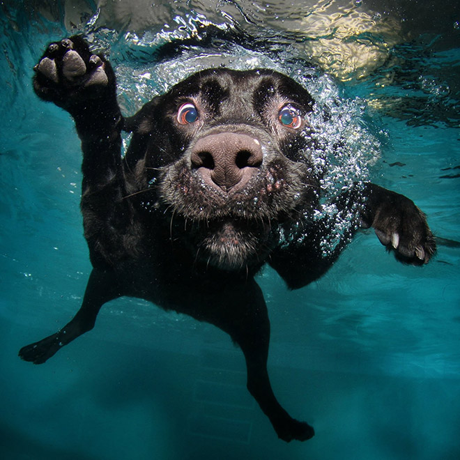 Dog diving for a toy.