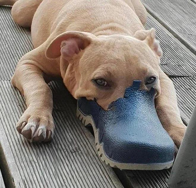 New dog breed: the Australian platypus dog.