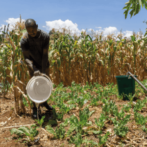 Manual irrigation of crops during the dry season