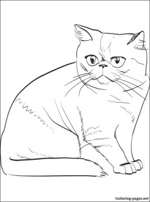 Exotic Shorthair cat coloring page Coloring pages