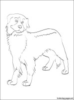 Bernese Mountain Dog coloring page   Coloring pages