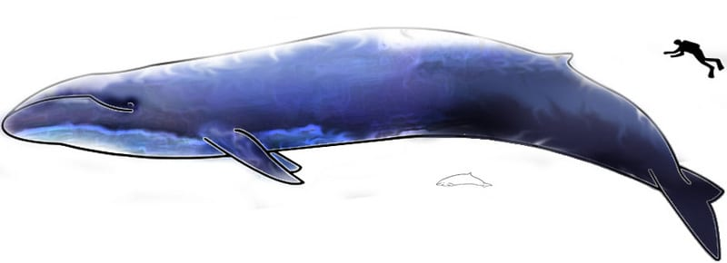 Baleen Plates Filter Food Blue Whale AskNature