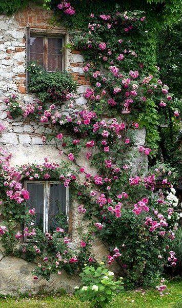 Плетистая роза на стене дома