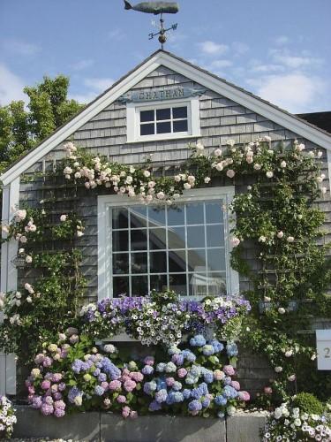 Гортензия и плетистая роза на стене дома