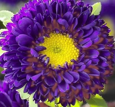 Фиолетовая астра Матсумото