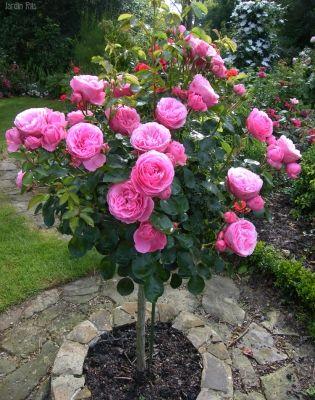 штамбовая роза в круглой клумбе