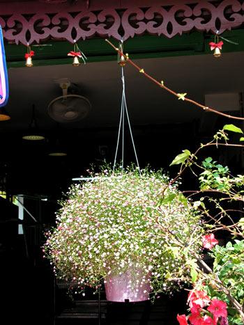 ампельные растения фото 6