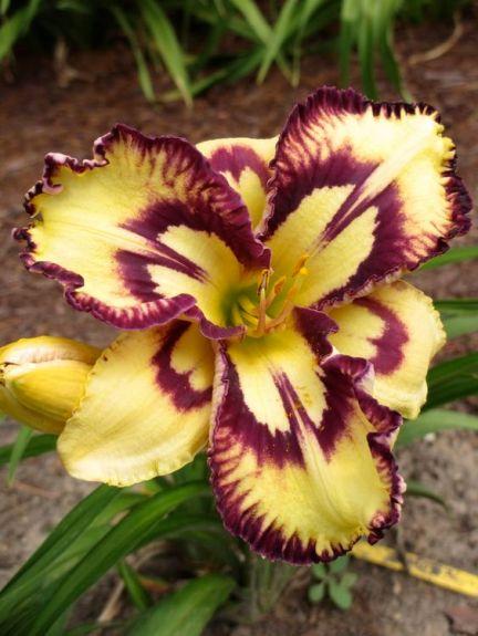 Красивый сорт лилии