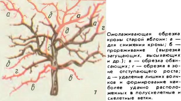 Омолаживающая обрезка старых плодовых деревьев