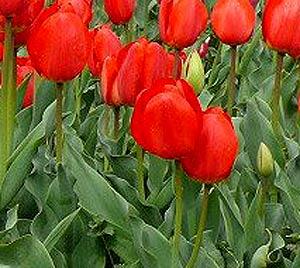 тюльпан фото
