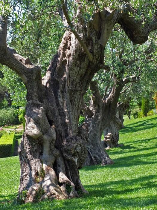 старые оливковые деревья