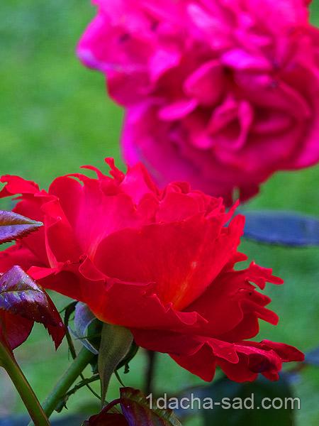 красивый розарий фото (21)