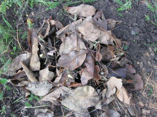 Присыпанная листвой хризантема