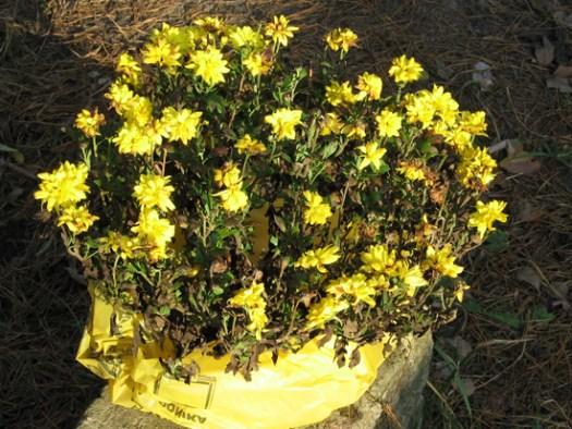 Шаровидная хризантема