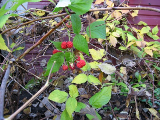 Ремонтантная малина плодоносит и по осени
