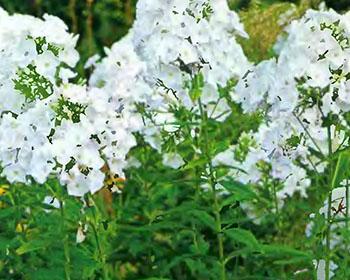 Цветущие садовые многолетники флокс 8
