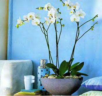 Орхидея Фаленопсис 1