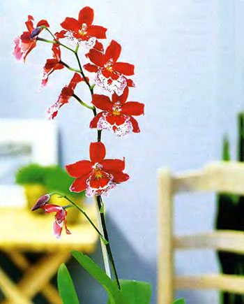 Орхидея Фаленопсис 3