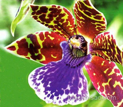 Орхидея Фаленопсис 7