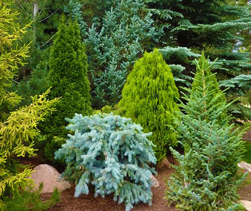 Вечнозеленые растения хвойники на даче