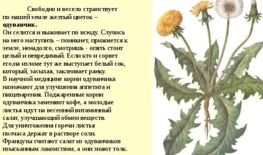Польза листьев одуванчика