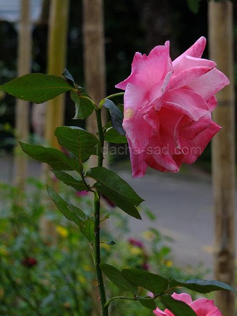 Фото шикарных роз из королевского парка 4